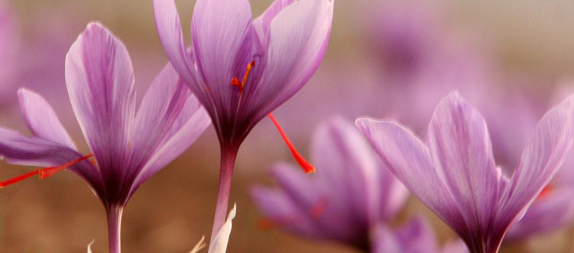 Saffron Stigma
