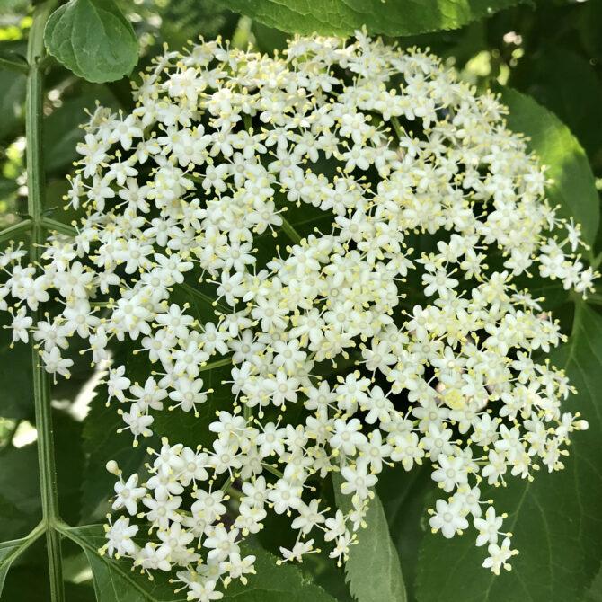 Elder Flower Sambucus nigra L.