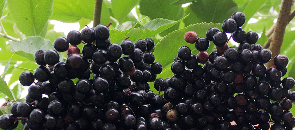 Elder Fruit, Sambucus nigra